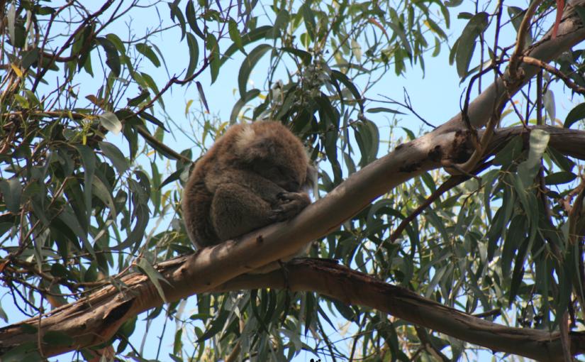 Vous êtes sous un koala